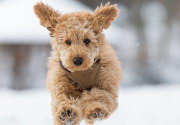 Chien courant dans la neige
